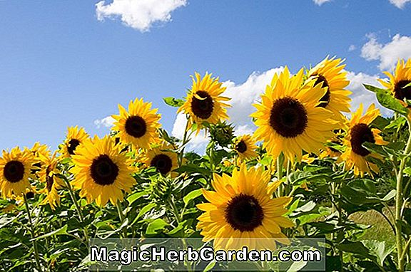 Helianthus annuus (Tournesol Gloriosa) - #2