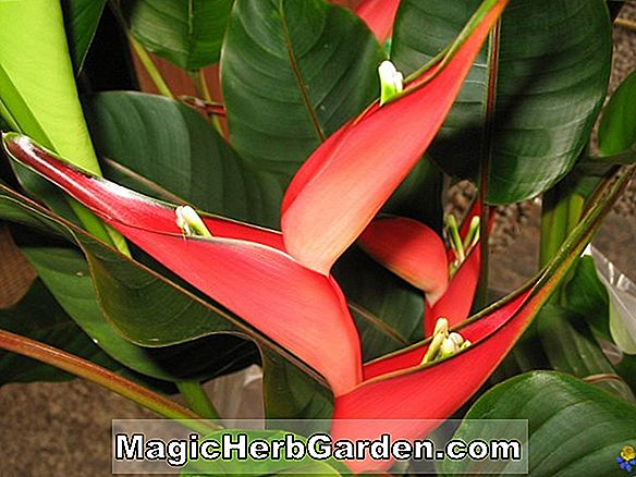 Plantes: Heliconia stricta (Stricta Heliconia) - #2