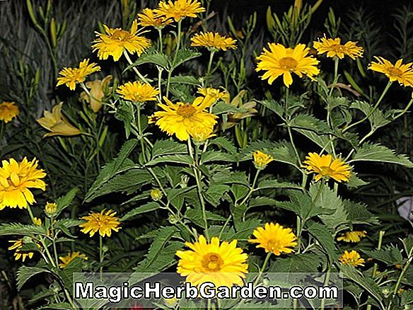 Heliopsis helianthoides (Goldgefieder Ox Eye)