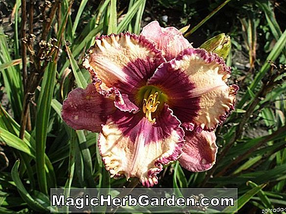 Hemerocallis hybrida (Regal Air Daylily)