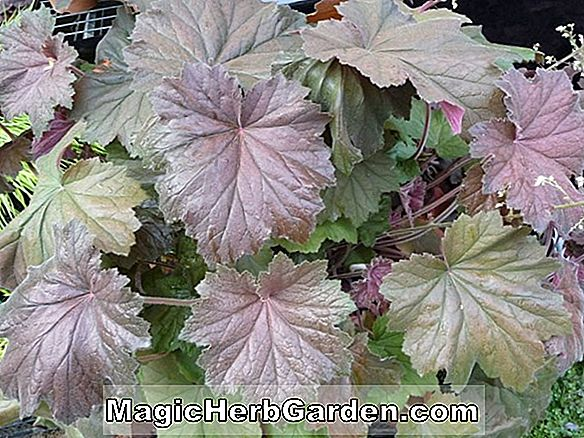 Heuchera sanguinea (clochettes de corail rose de Windfield)