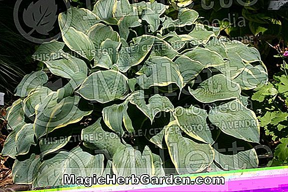 Plantes: Hosta (Blue Ice Hosta)