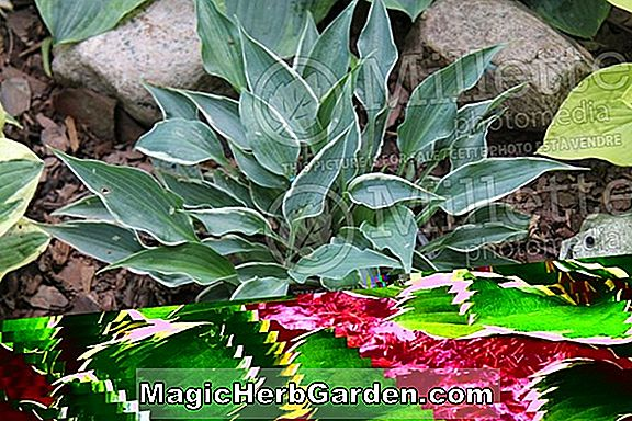 Hosta (Lily Plantain Dew Drop)