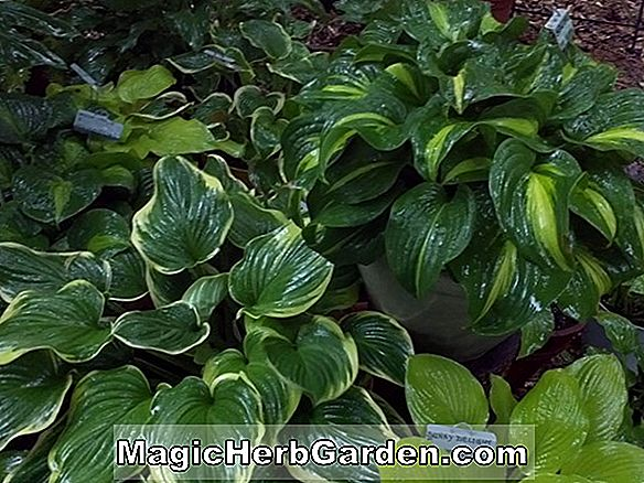 Plantes: Hosta (Emily Dickinson Plantain Lily)