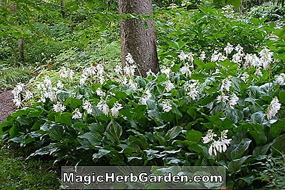 Hosta (Bouquet Plantain Lily)