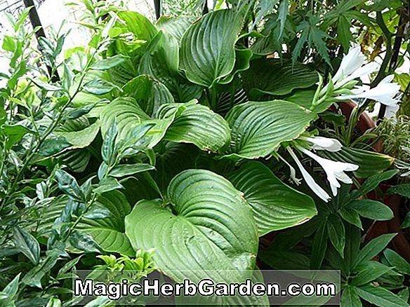 Hosta (Bouquet Parfumé Hosta)
