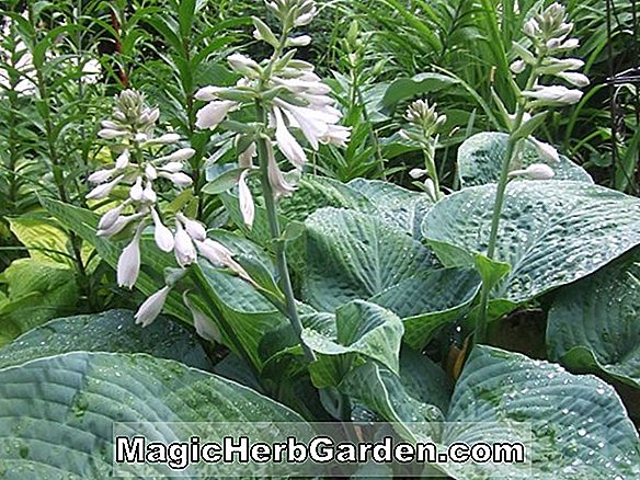 Plantes: Hosta (Voir Saw Lily Plantain)