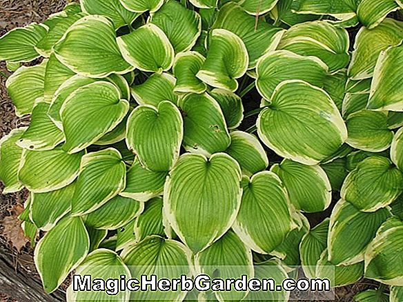 Hosta (Shade Fanfare Hosta)