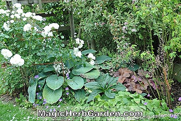 Hosta (Sherwood Profusion Plantain Lily)