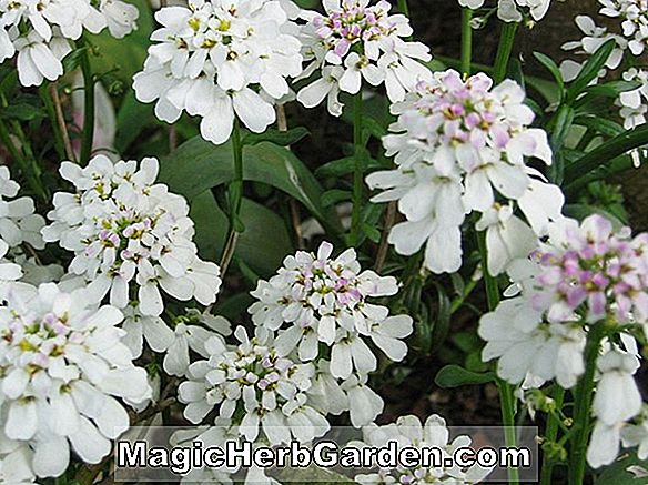 Plantes: Iberis sempervirens (Evergreen Candytuft)