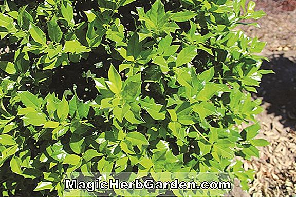 Ilex aquifolium (Pinto English Holly) - #2
