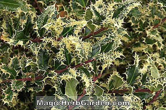 Növények: Ilex aquifolium (Argentea Variegata English Holly)