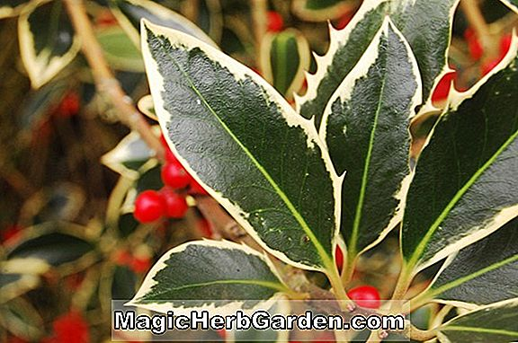 Ilex aquifolium (Handsworth New Silver English Holly) - #2