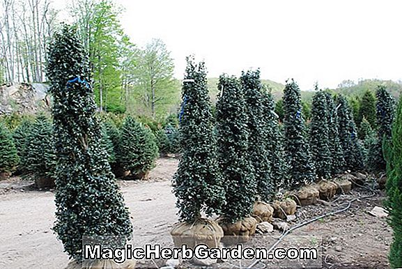 Ilex aquipernyi (Holly)