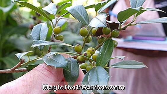 Ilex attenuata (Foster n° 3 Holly) - #2