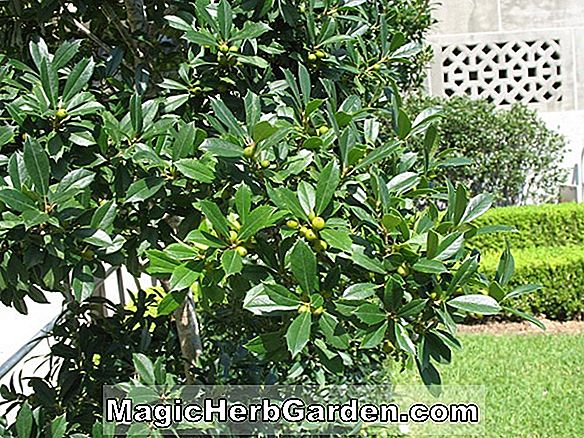 Ilex attenuata (Foster No. 6 Holly)