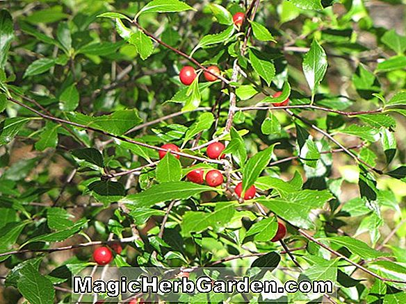 Plantes: Ilex Cassine (Dahoon Holly)