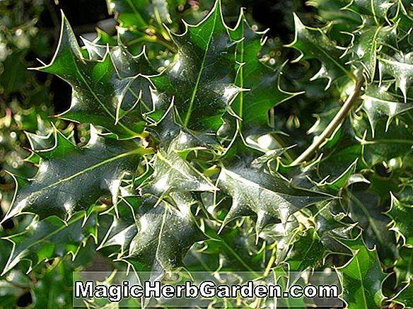 Tumbuhan: Ilex crenata (Imperial Holly) - #2