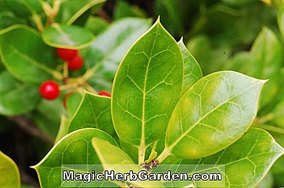 Ilex Cornuta (Shangri La Holly)