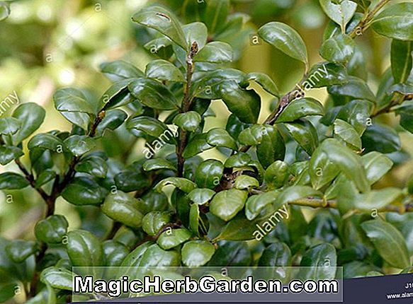 Ilex crenata (Mariesii Japanese Holly)