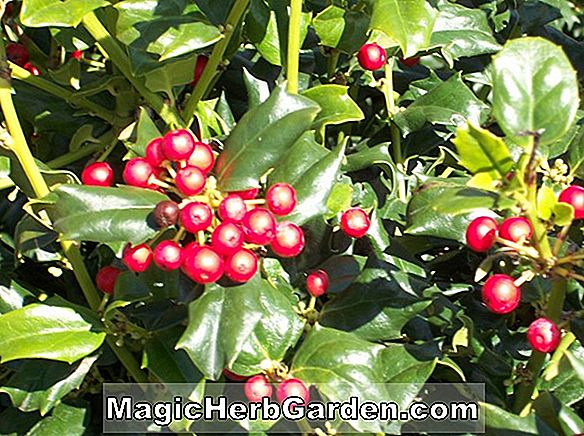 Ilex meserveae (Dragon Lady Meserve Holly)