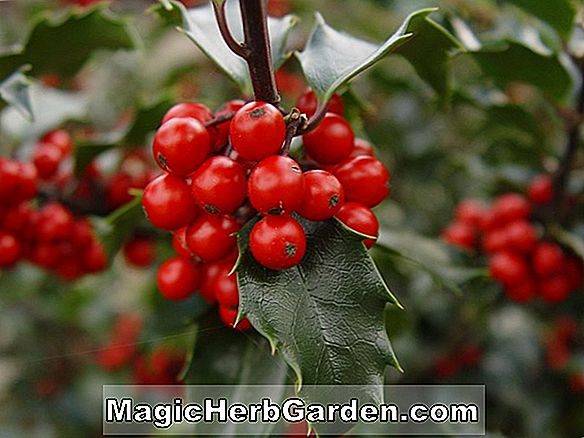 Ilex Opaca (Chef Paduke Holly)