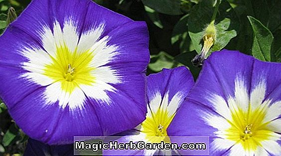 Ipomoea tricolor (Roman Candy Morning Glory)