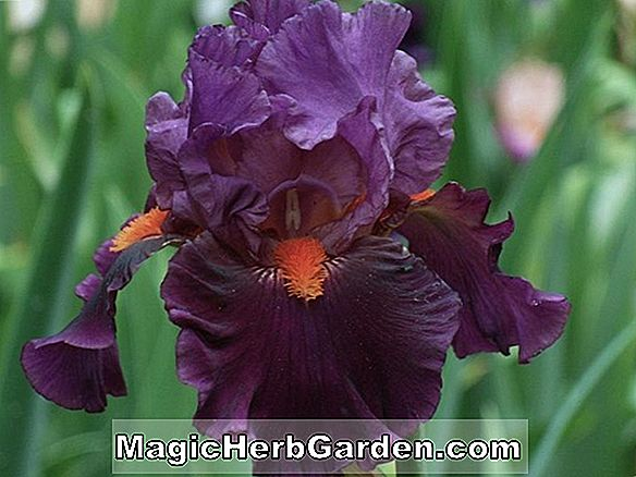 Plantes: Iris (Magic Man Tall Iris barbu)