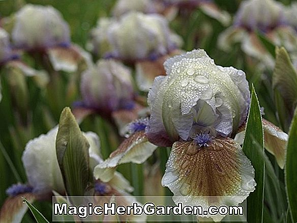 Iris germanica (iris radiant)