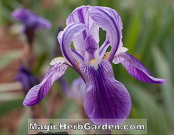 Tumbuhan: Iris germanica (Fascination Iris)