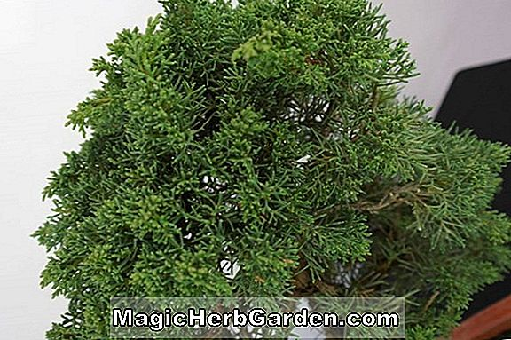Juniperus chinensis (genévrier chinois Fairview)