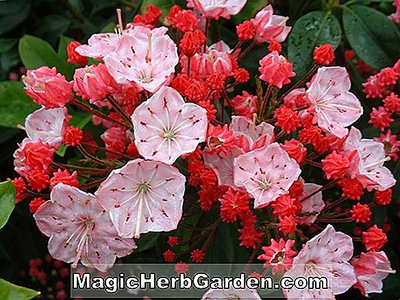 Kalmia latifolia (Den Window Mountain Laurel)