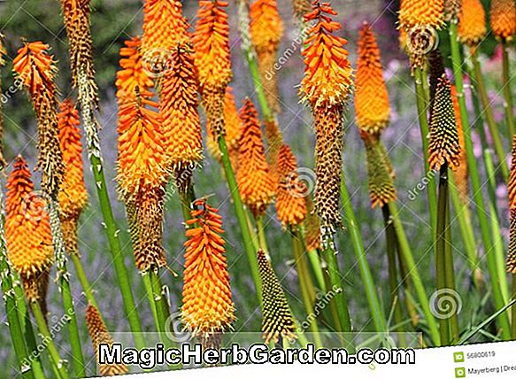 Kniphofia triangularis (fleur de torche triangulaire)