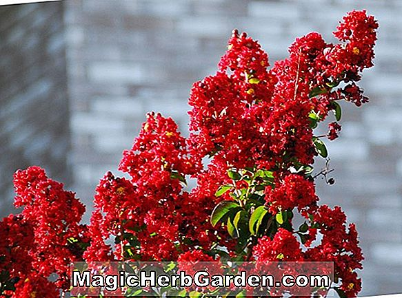 Lagerstroemia indica (Tonto Crapemyrtle) - #2