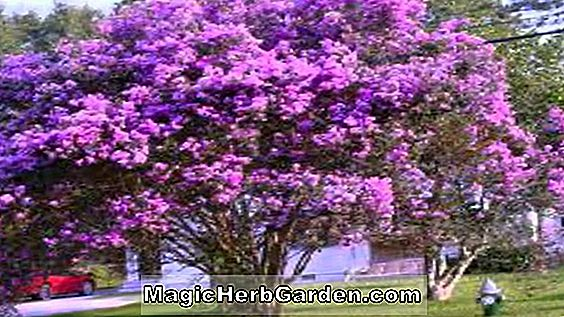 Lagerstroemia indica (Christiana Crapemyrtle) - #2