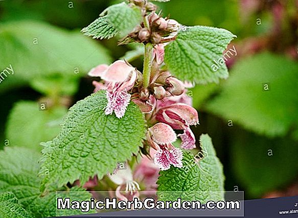 Album Lamium (Beacon Silver Deadnettle) - #2