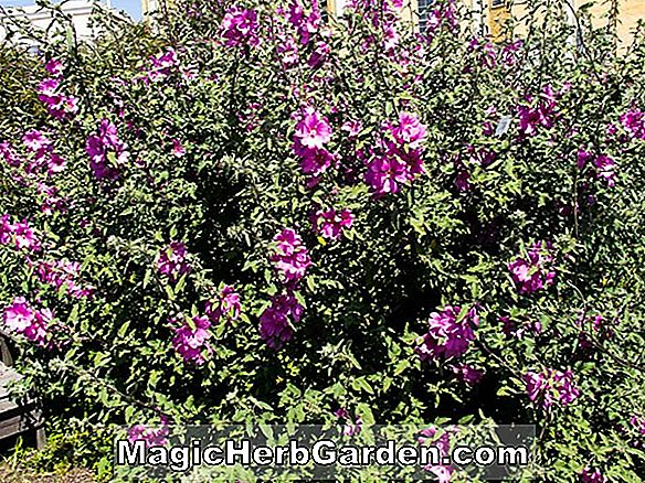 Lavatera trimestris (Ruby Regis Tree Mallow)