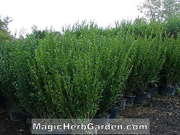 Plantes: Ligustrum japonicum (Howard Privet) - #2