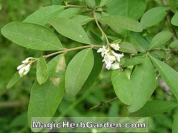 Ligustrum vulgare (Common Privet)