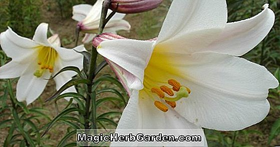 Lilium (Pink Perfection Group Lilies)