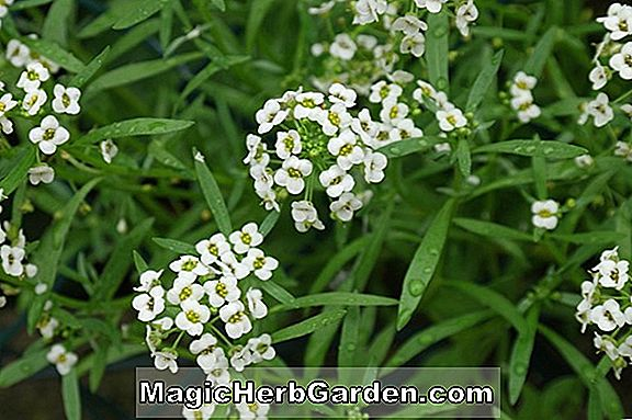 Lobularia maritima (Tiny Tim Sweet Alyssum)