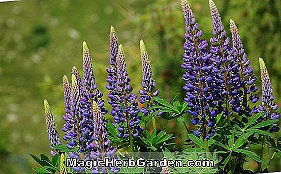 Plantes: Lupinus (Galerie Lupin)