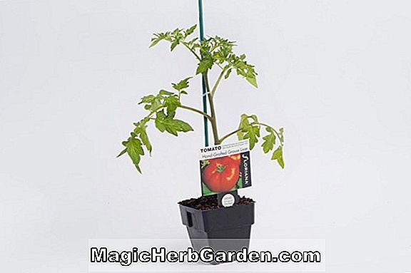 Lycopersicon esculentum (Big Pick Tomato)