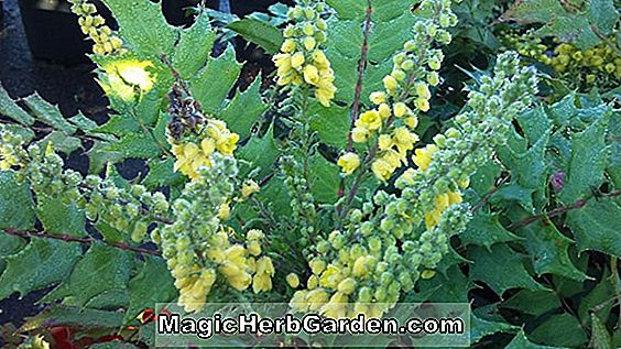 Mahonia media (Winter Sun Mahonia) - #2