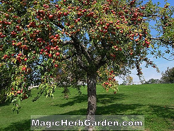 Plantes: Malus domestica (pomme d'or noble)