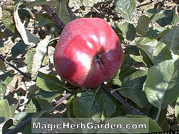 Malus domestica (Calville Rouge Apple)