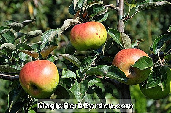 Plantes: Malus domestica (pomme rouge Connell)