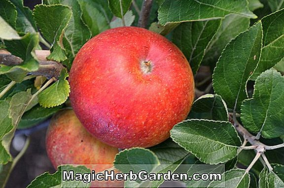 Plantes: Malus domestica (pomme rouge orange Kidd)