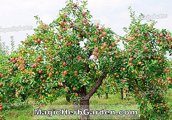 Plantes: Malus domestica (Double Red Wealthy Apple)