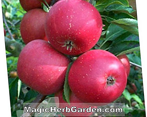 Malus domestica (Black Apple Arkansas)